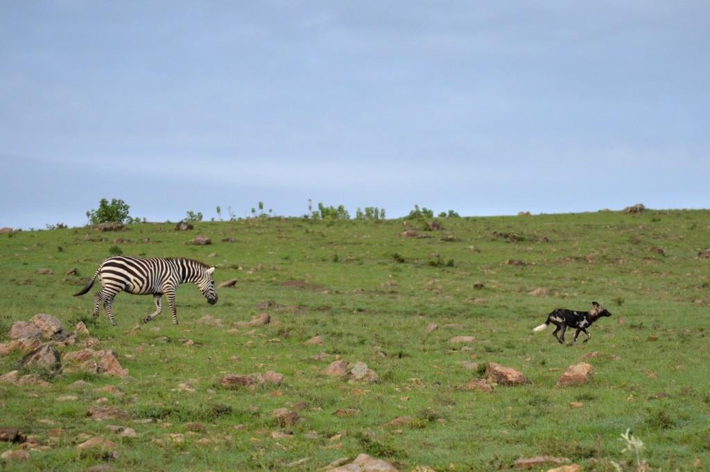 Zebra chasing dog