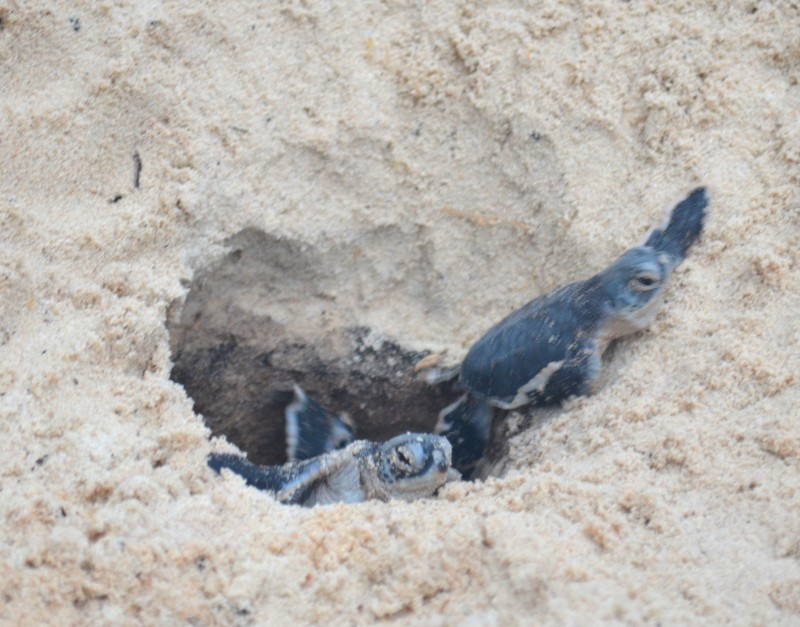 baby turtles scramble from their nest
