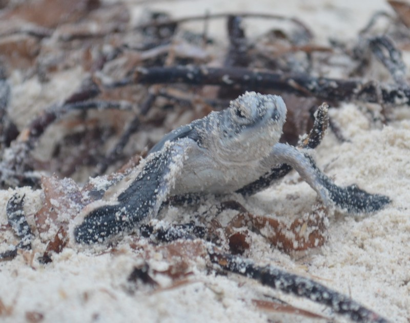 a baby green sea turtle
