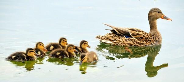 mallard-ducks-934518_1280